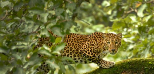 Experience the real escapade of Tadoba Wildlife Safari in India