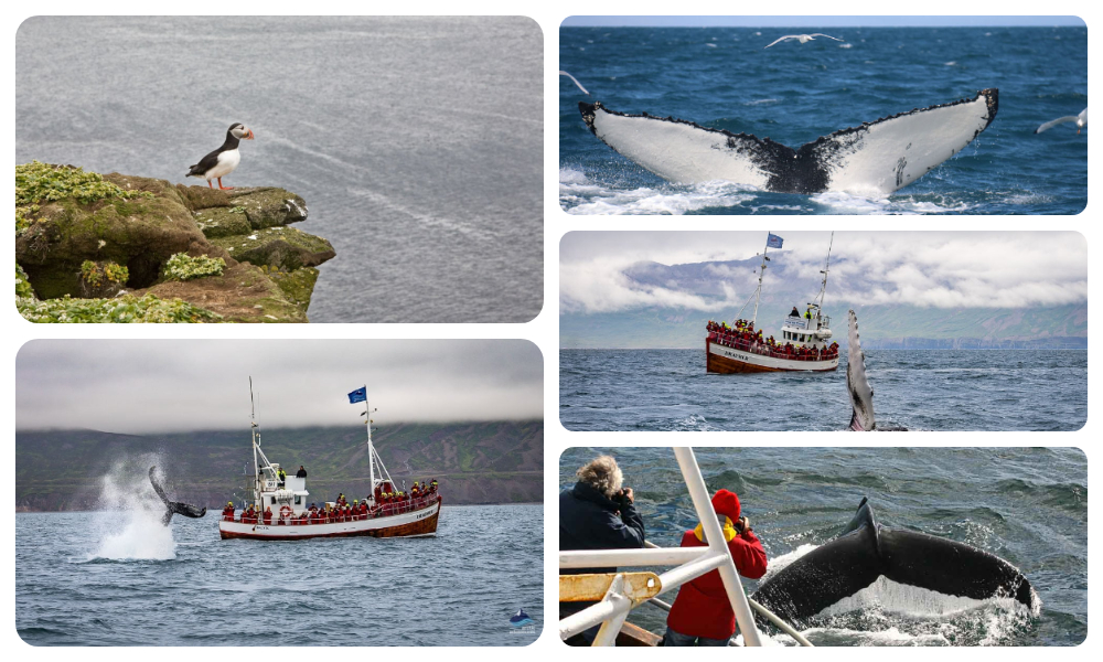 Arctic Adventures Whale Watching